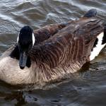 """Canadian Goose 033"" by waterfowlalexandriava"