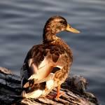 """Abstract Mallard Duck 085"" by waterfowlalexandriava"