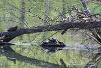 Painted Turtles 20120419_173a
