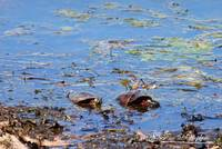 Painted Turtles 20120419_197a