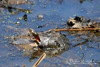 Painted Turtle 20120420_40a