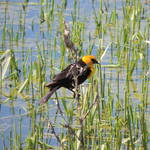 """Yellow headed Blackbird"" by vpicks"
