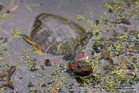 Red Eared Slider Turtle 20120420_73a