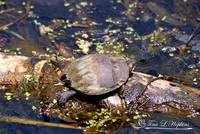 Painted Turtle 20120430_250a