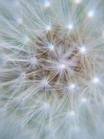 DandeLion at seed