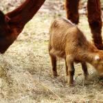 """""""Baby Goat 3"""" by ScottHovind"""