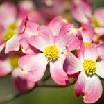 """Accented Dogwood"" by tricia"