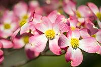 Accented Dogwood