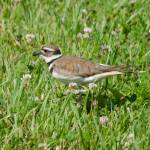 """Kildeer"" by WildAboutNaturePhotography"