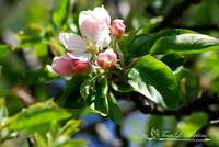 Crab Apple Blossoms 20120413_19a