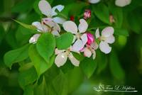 Crab Apple Blossoms 20120413_162a