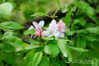 Crab Apple Blossoms 20120415_109a