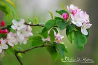 Crab Apple Blossoms 20120415_172a