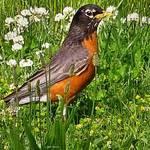 """bird in clover"" by micspics444"