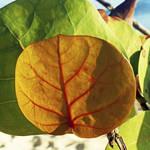 """Seagrape leaves"" by URSPIX"