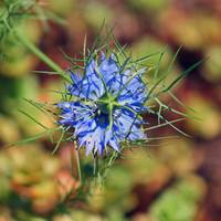 Flower  Blue Love in a Mist