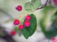 Berries of the Serviceberry Tree