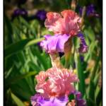 """""""PAIR OF BEAUTIES 2"""" by shaynaphotography"""