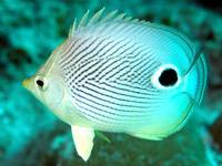 Two Eyes Butterflyfish