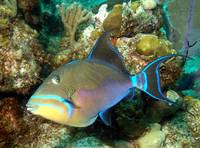 Triggerfish goind to hide...