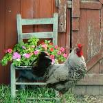 """""""Rooster Strutting"""" by spadecaller"""