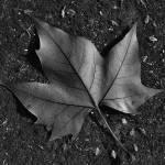 """Leafe"" by javieruregna"