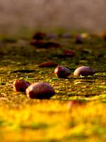 Olives on the ground