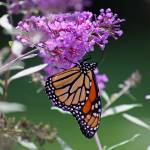 """Butterfly  Monarch on Butterfly Bush"" by KsWorldArt"