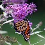 """""""Butterfly  Monarch on Butterfly Bush"""" by KsWorldArt"""