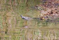 Common Sandpiper 20120430_223a