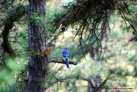 Northern Bluejay 20120420_206a