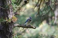 Northern Bluejay 20120420_211a