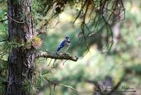 Northern Bluejay 20120420_216a