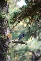 Northern Bluejay 20120420_219a