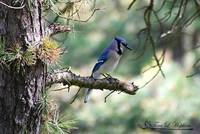 Northern Bluejay 20120420_219b