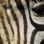 """20120513 Zebra eye"" by Machin"