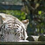 """20120513 White Tiger Sleeping"" by Machin"
