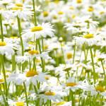 """daisies"" by prbanana"