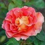 """Hybrid Tea Rose"" by lisa5"
