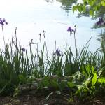 """Irises by the pond"" by pixel_this"