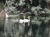 Swan Family - Clear Lake