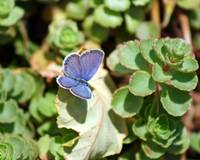 Butterfly Eastern Tailed Blue on Sedum
