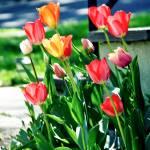 """Tulip Garden"" by PhotographsByCarolFAustin"