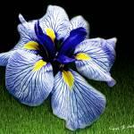 """Japanese Iris in Bloom"" by PhotographsByCarolFAustin"