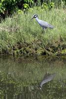 American Night Heron - Reflected