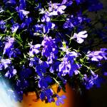"""Lobelia - Early summer evening light"" by PersonalAndSingular"