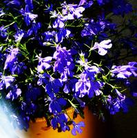 Lobelia - Early summer evening light
