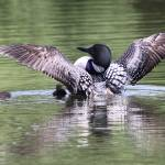 """Proud Display - Minnesota Loon"" by Dullinger"