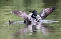 Proud Display - Minnesota Loon