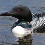 """Minnesota Loon"" by Dullinger"